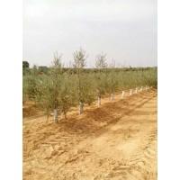 Plantaciones de Olivos y Otros Leñosos con Plantadora Gps