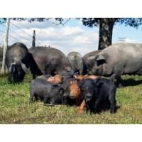 Vendo Lechones Ibéricos, Duroc Jersey y Cruzados
