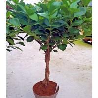1 Planta de Ficus Benjamina Trenzada. Altura