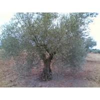Olivos Centenarios Baratos