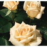 Rosa Jardins de Bagatelle Rd