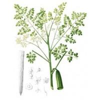 Semillas de Moringa, Arbol Verdura, Arbol Milagroso (Moringa Oleifera) - 100 Semillas
