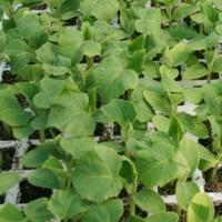 Bandeja 6 Plantas Pepino Alficoz