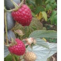 Lote de 10 Plantas de Frambuesa Remontante. Alveolo Forestal (350 Cc.)