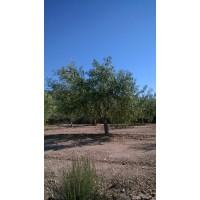 Poda de Olivos,poda Dealmendros Ylimpieza en Verde de Almendros, Formación de Arboles Nuevos y Todo Tipo de Servicios
