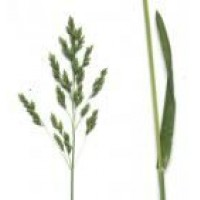 Semillas Variedades de Kentucky Bluegrass