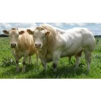 Terneros Blonde para Toros
