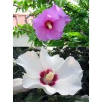 Hibiscus Syriacus Arbusto en Maceta de 22 Cm