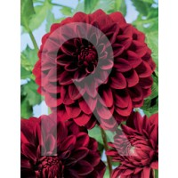 sobre Bulbo Dalia Decorativa Arabian Night-Rojo Oscuro CASI Negro