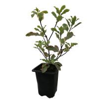 Pittosporum Tenuifolium Elizabeth