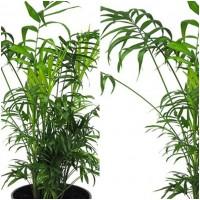 Planta Palmera Chamaedorea. 70 - 80 Cm.