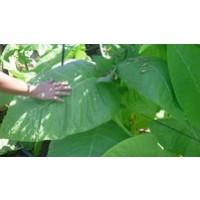 Semillas de Tabaco Burley (Nicotiana Tabacum)