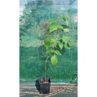 Lote de 16 Plantas de Frambuesa en Envase