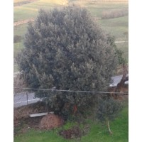 Plantón de Encina Cantabrica en Formato Forestal (Quercus Ilex Ilex)