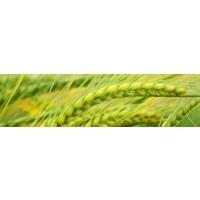 ALLY 20 SX, Herbicida Postemergencia para Cebada y Trigo de Dupont
