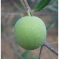 Olivo Manzanilla en Maceta de 20 Cm