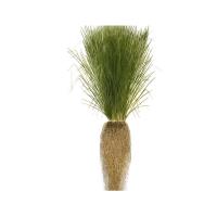 Planta Vetiver Ecológica