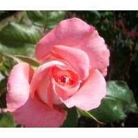 Rosa Prestige de Lyon Rd