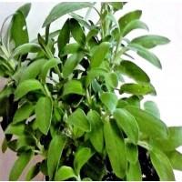 1 Planta Aromática de Salvia Officinalis. Alt