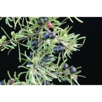 1 Planta de Rhamnus Lyciodes - Espino Negro.