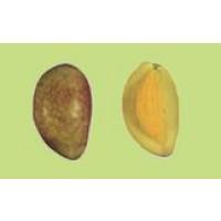 Olivo Cornicabra en Maceta de 20 Cm