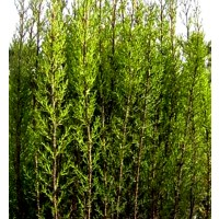 Plantas Cipreses 60 - 80 Cm, Cupressus Semper
