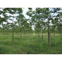 Expertos en Reforestacion; Balso, Paulownia, Teca, Acacia Mangium