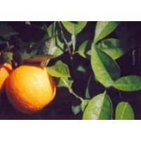 Naranja Tipo Valencia
