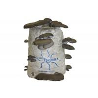 Saco de Cultivo de  Seta de Ostra (Pleurotus Ostreatus)