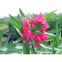 Plantas de Adelfa (Nerium Oleander) a 0,5 €