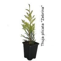"""Thuja Plicata ''zebrina""""."""