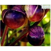 Tomatillo Violeta Physalis Philadelphica. 50 Semillas