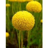 1 Planta de Santolina Rosmarinifolia - Santol