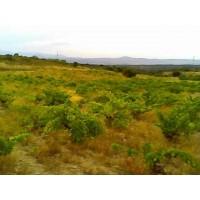 Derechos Plantación Viñedo Toledo