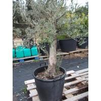 Olivo en Maceta de 60 Centímetros