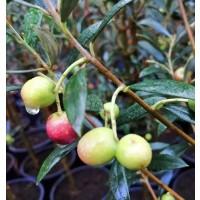 Planta de Frutal Olivo Arbequina, OLEA Europa