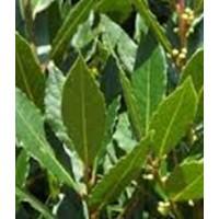 Plantón de Laurel en Formato Forestal (Laurus