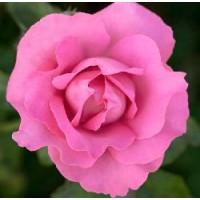 Rosa The Mc Cartney Rose Rd