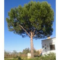 Pino Piñonero (Pinus Pinea) 25 Semillas