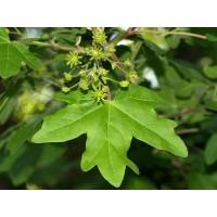 Planta de Acer Campestre - Arce Común. 30 - 4