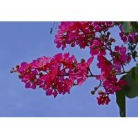 1 Planta de Arbol de Jupiter Lagerstroemia Petit RED. Altura Planta 30 - 40 Cm.