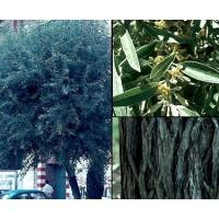 1 Planta de Elaeagnus Angustifolia - Árbol del Paraiso. Altura 30 - 40 Cm