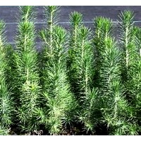 Planta de Pinus Halepensis. Pino Carrasco