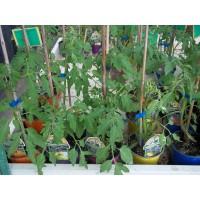 Planta Tomate para Untar en Bandeja de 6 Unidades