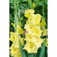 Bolsa 10 Bulbos Gladiolos Amarillo