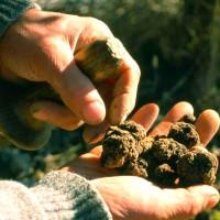 Planta Micorrizada con Trufa Negra. 10 Plantas