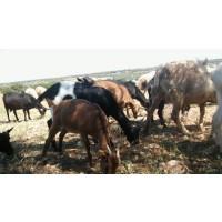 Cabras Murcianas