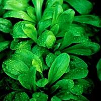 Canonigo Verde de Cambrai Baby Leaf. 50 Gramos / 125.000 Semillas