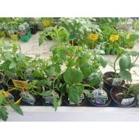 Planta de Cebollino en Maceta de 14 Cm