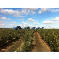 Recoleccion de Viña en Espaldera y Olivos en Superintensivo con Vendimiadoras New Holland Vx 7090